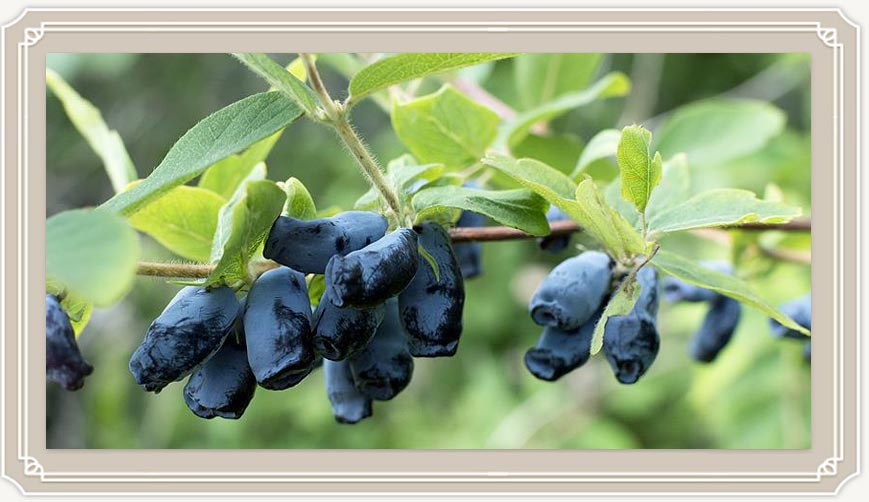 Полезные свойства и противопоказания чудо-ягоды жимолости